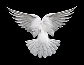 White Dove in Flight 2