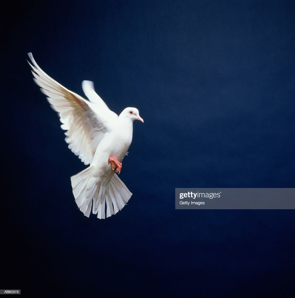 White Dove in flight, blue background : Stock Photo
