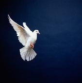 White Dove in flight, blue background