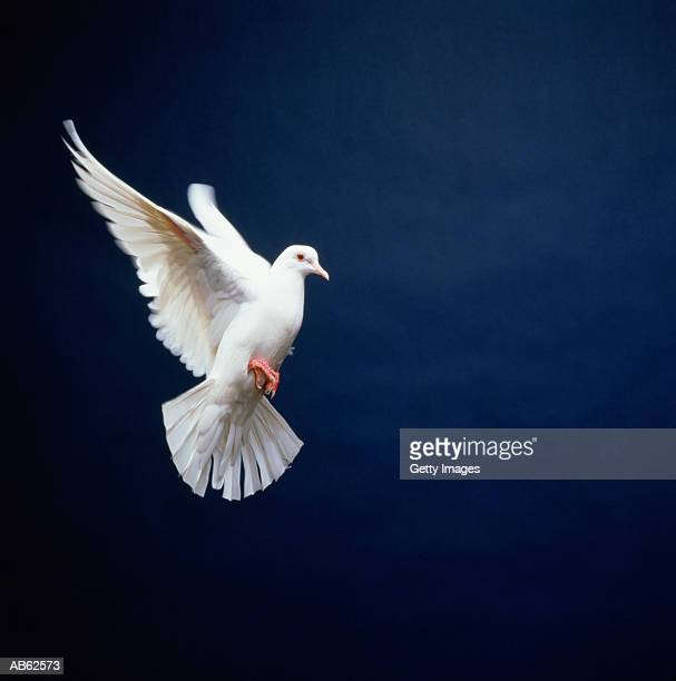 White Dove in flight, blue background