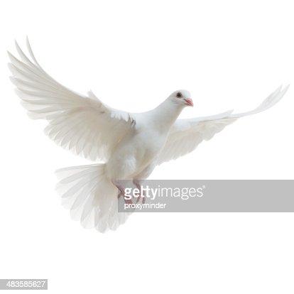 White Dove isolated