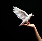 White Dove landing on hand
