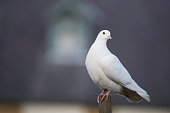 close up of a white dove looking left