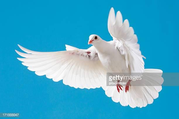 Colombe blanche avec écartés wings on blue sky