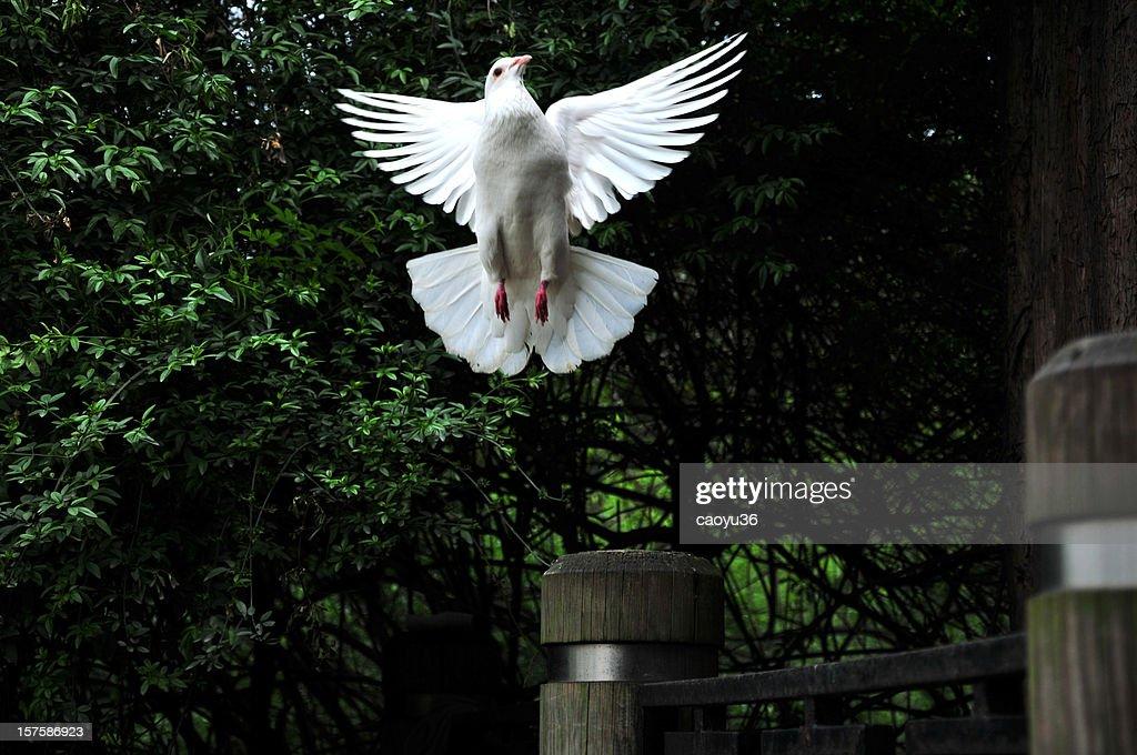 White doves : Stock Photo