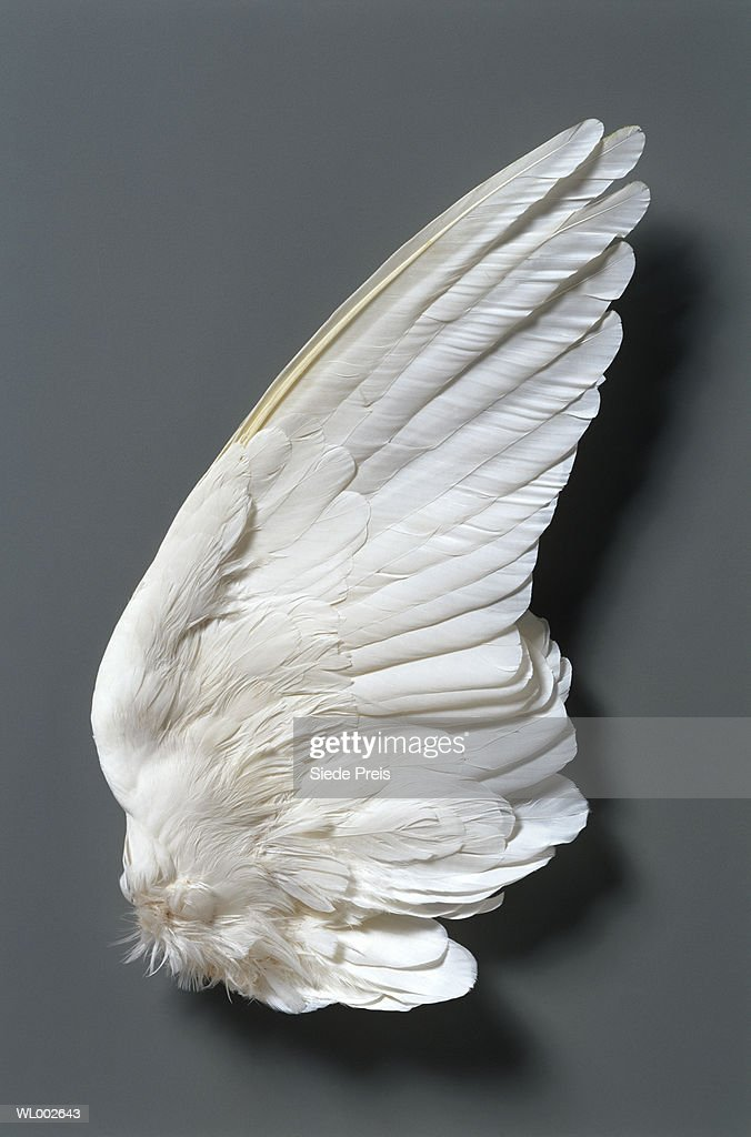 White dove's (Columbidae) wing