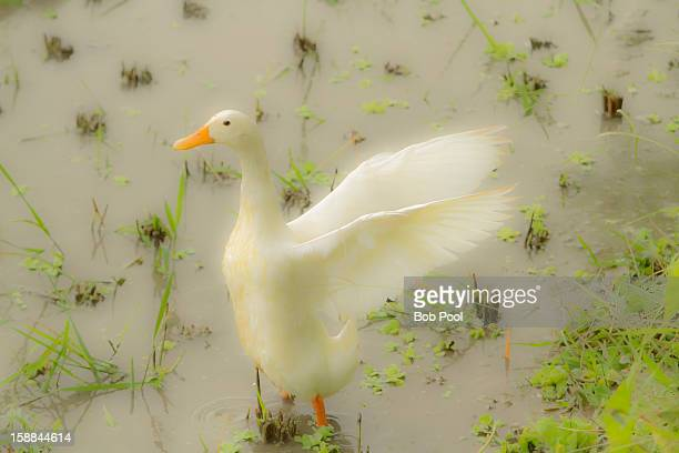 White duck in a rice field, Indonesia