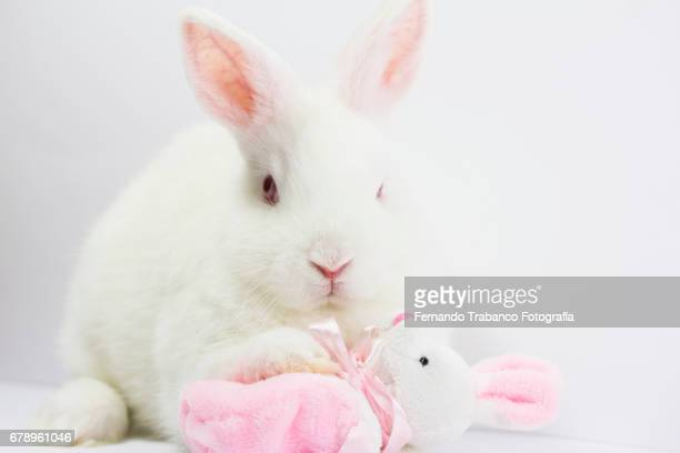 White Dwarf Rabbit plays and hugs a bunny-shaped rag doll and adopts his son