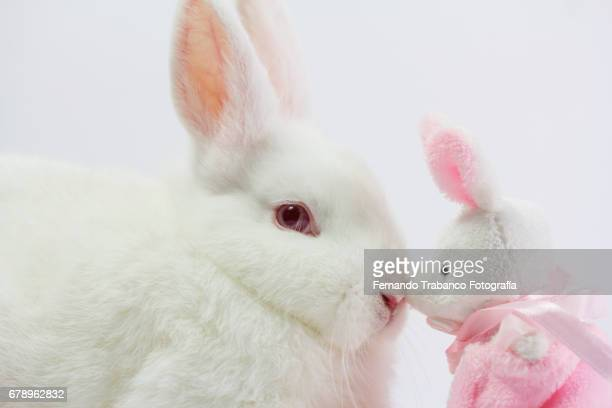 White Dwarf Rabbit plays and kiss a bunny-shaped rag doll and adopts his son