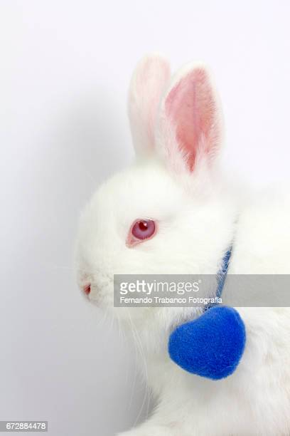 White dwarf rabbit with a necklace with a blue heart