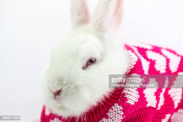 White dwarf rabbit wrapped and disguised in a winter wool sweater with hearts and love, Oryctolagus cuniculus domesticus