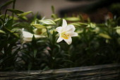 A white Easter lilly sits in Rockefeller Center before the upcoming Easter holiday on March 28 2013 in New York City Workers planted thousands of...