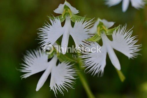 White egret flower stock photo thinkstock white egret flower mightylinksfo