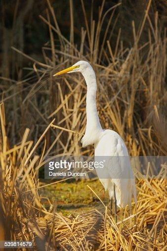 White Egret, Golden Marsh