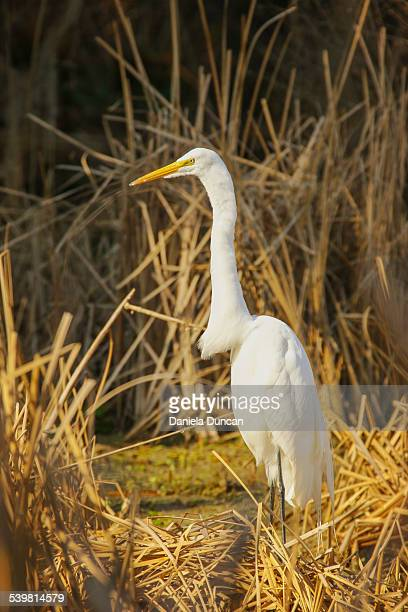 White Egret, Golden Marsh