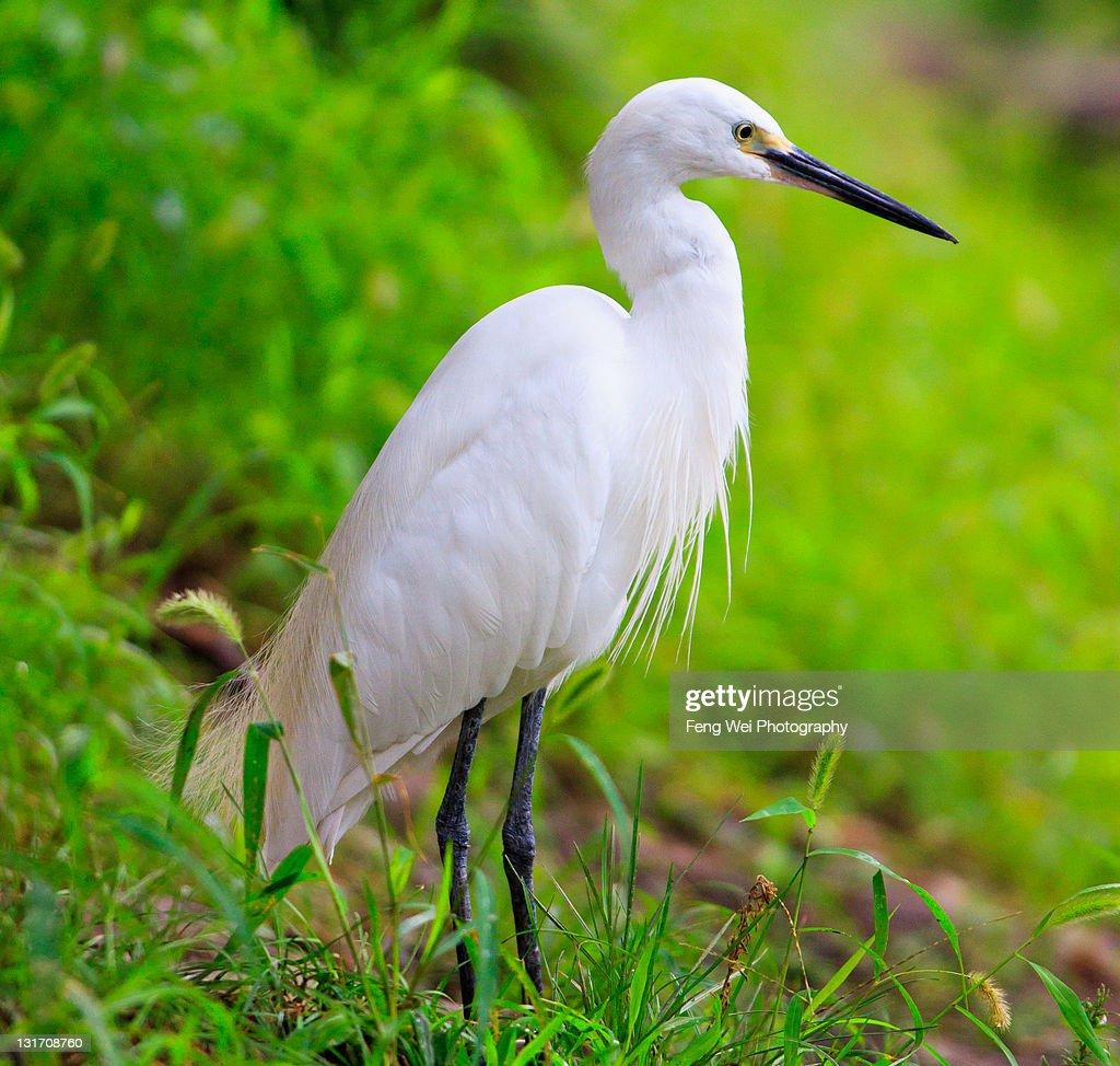 White egret : Stock Photo