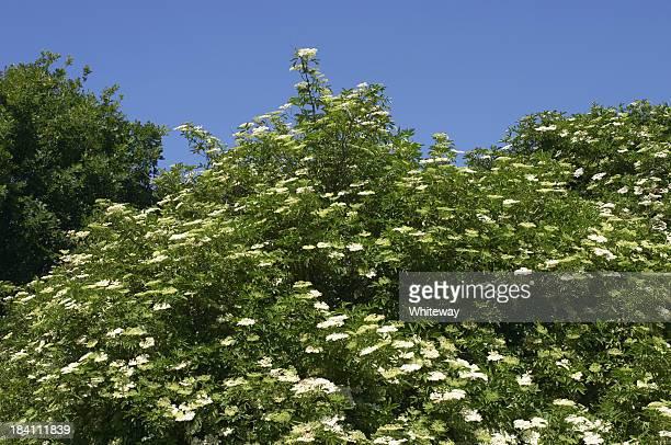 White Holunderbeere Blumen Sambucus nigra in klarem blauem Himmel
