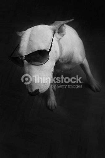 e5fe18181d307 Branco inglês bull Terrier em Óculos de sol   Foto de stock