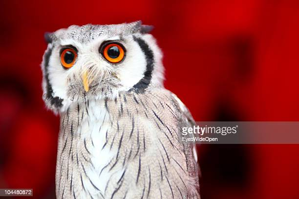 White face owl is shown on the Photokina fair on September 21 2010 in Cologne Germany The Photokina is the world's biggest trade fair for the...
