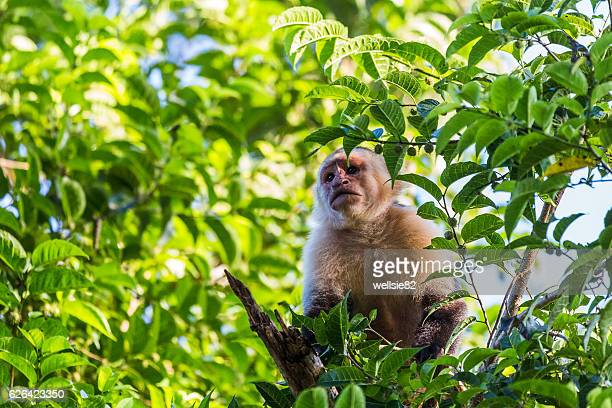 White faced capuchin in the treetops
