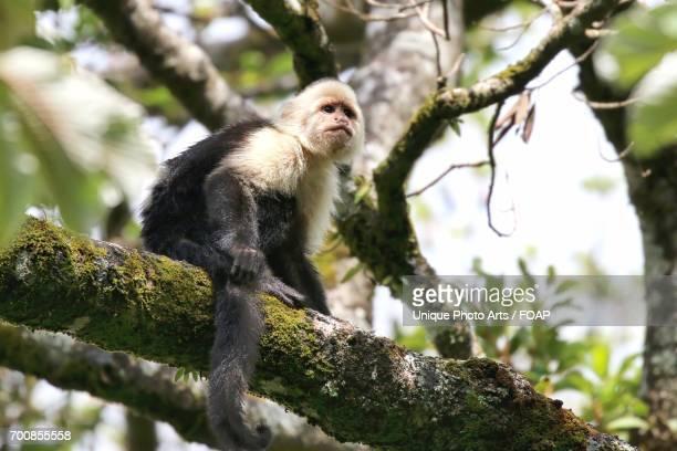 White Faced Capuchin Monkey on tree