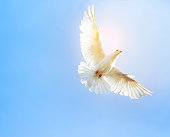 white feather wing pigeon bird flying mid air against clear blue sky