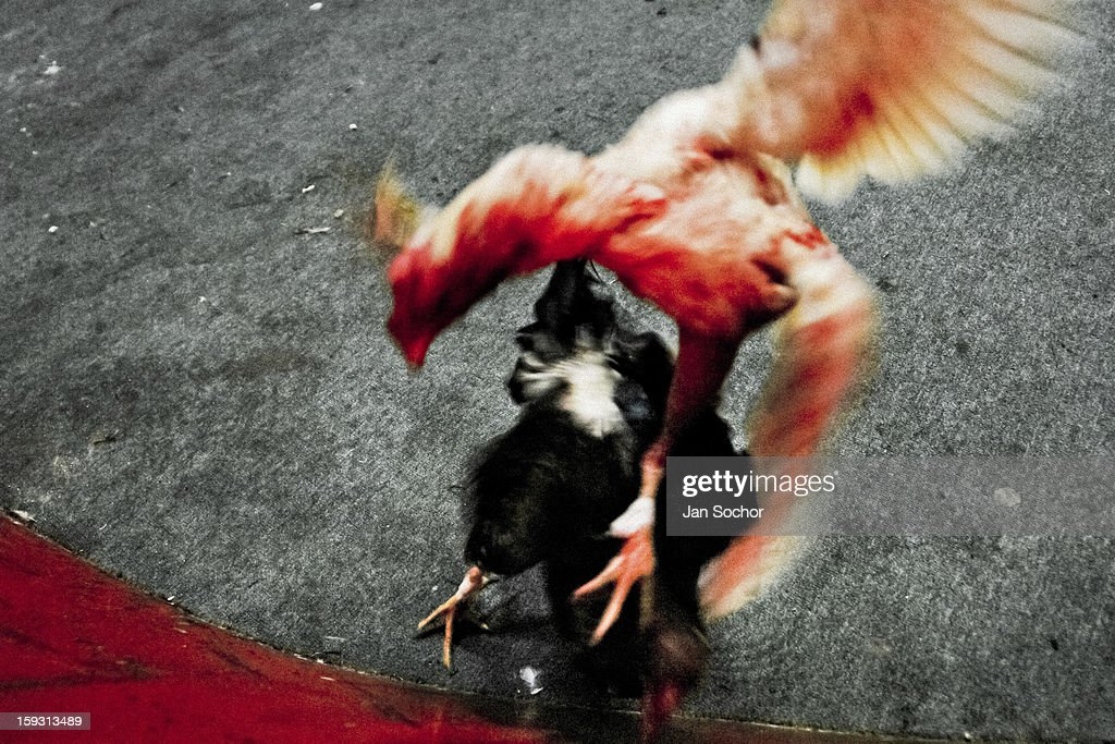 A white fighting cock, covered in blood, attacks its rival in the arena in Santa Marta, Colombia on May 20, 2006. Cockfight is a widely popular and legal sporting event in much of Latin America. The fight is usually held in an arena (gallera in spanish) with seats for spectators. There is always gambling involved in cockfights. People take advantage of cock's natural, strong will to fight against all males of the same species. Birds are specially bred to increase their aggression and stamina, they are given the best of food and care. The cocks are equipped with tortoise-shell made gaffs tied to the bird's leg. The fight is not intentionally to the death but it may result in the death of cocks very often.