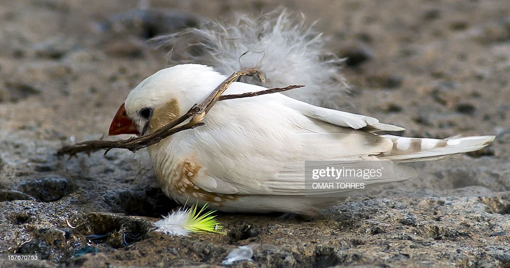 A White Finch (Carpodacus Mexicanus) collects a small branch for his nest at the Abraham Lincoln park in Mexico City on December 5, 2012.