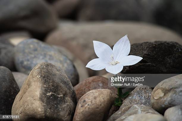 White Flower Growing Through Stones