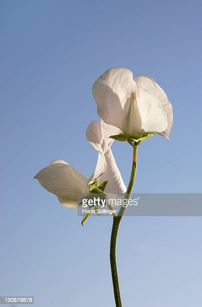 White flower of ornamental pea climbing on fence
