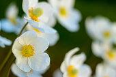 White Flower in the Garden (Anemone sylvestris)