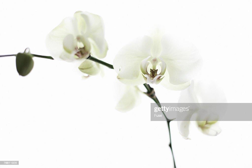 White Flower : Stock Photo