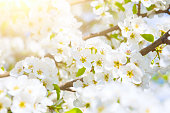 White flowers of cherry blossoms on sunny spring day.