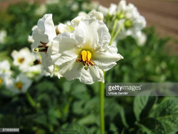 White flowers of potato plants on field