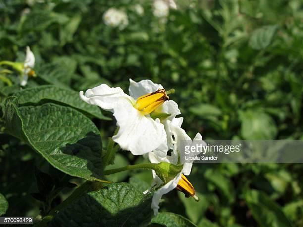 White flowers of potato plants