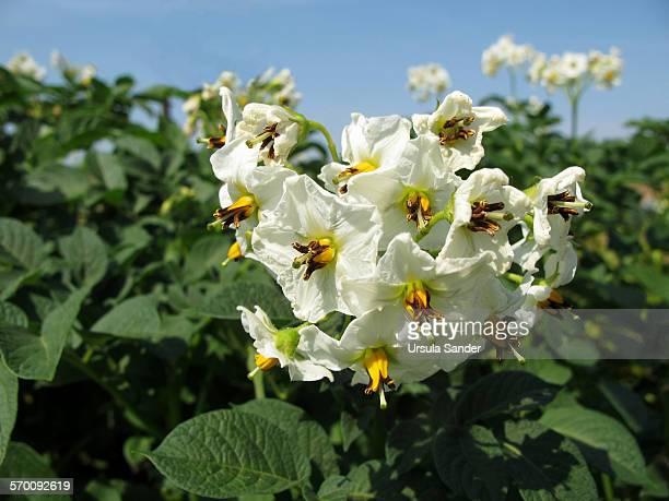White flowers of potato plants under blue sky