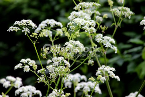White Flowers On Cow Parsley Plant Wild Chervil Anthriscus Sylvestris Stock Photo
