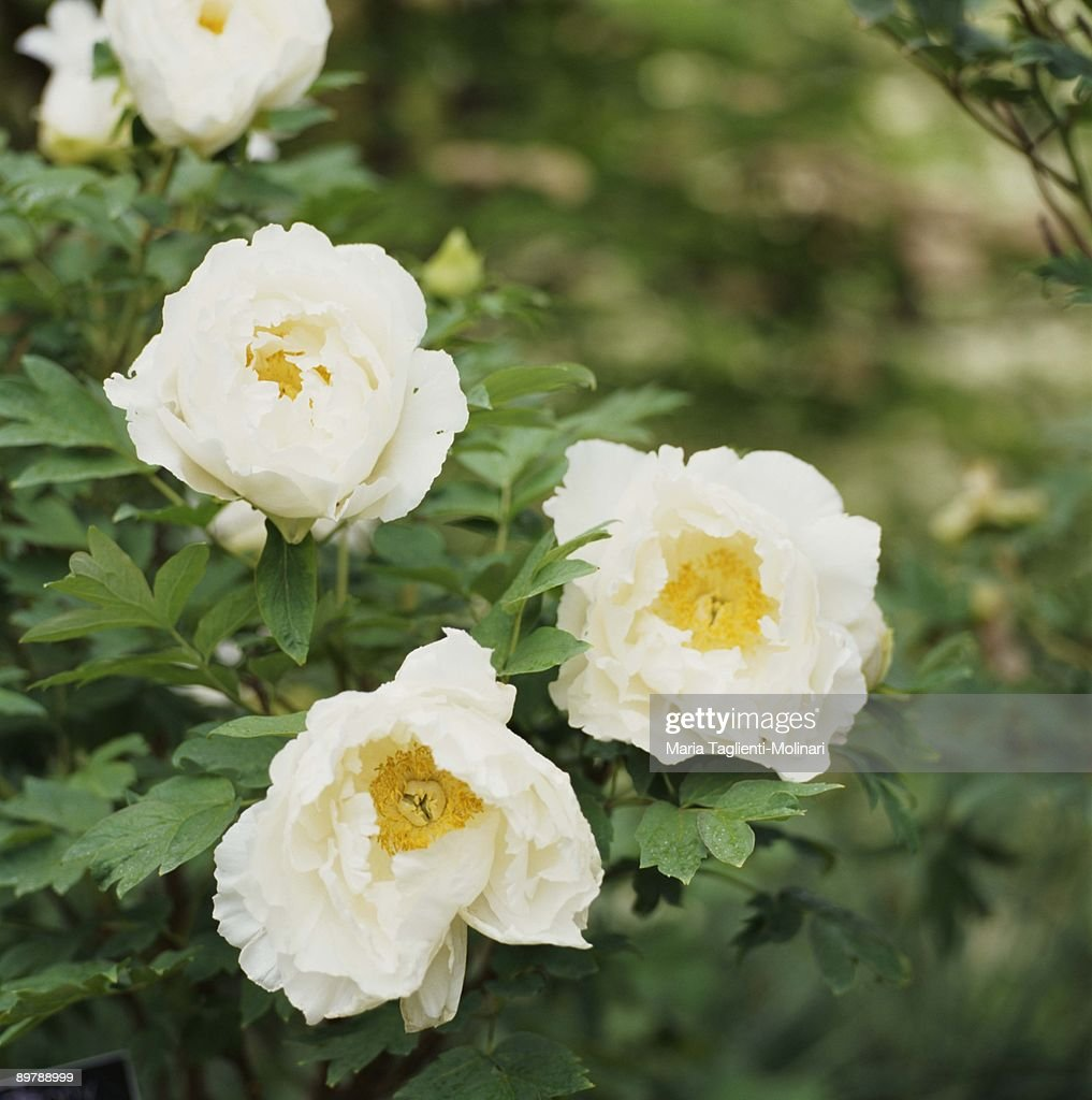 White flowers : Stock Photo