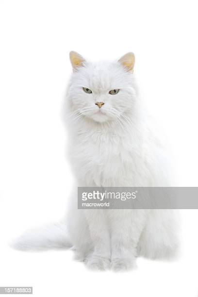 A white fluffy cat sitting isolated on white background