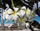 White Frangipani, Bikini Atoll, Marshall Islands.