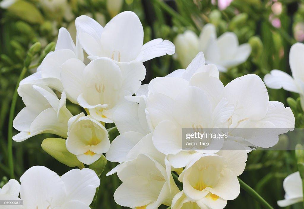 White Freesia : Stock Photo