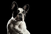 White french bulldog with black spots on head in front of black background