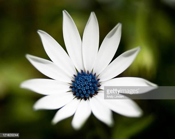 White gardenflower