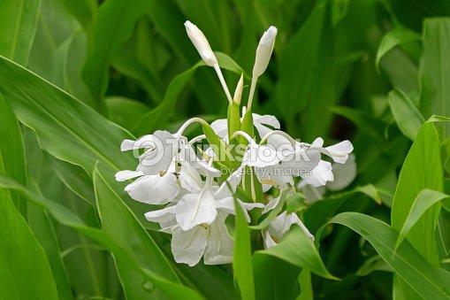 Weiße Girlandelilie Weißer Ingwer Lilie Blume Im Garten In Singapur