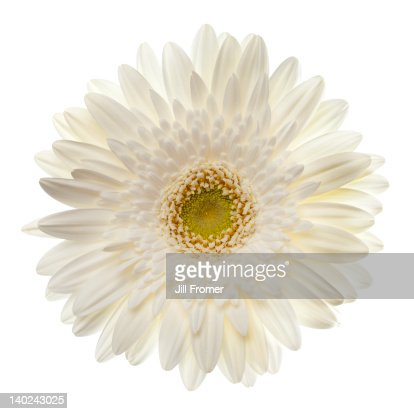 White gerbera daisy isolated on white. : Stock Photo