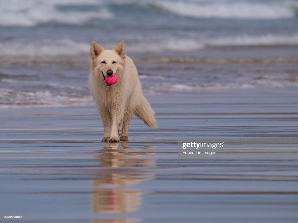 White German Shepherd dog at he beach Gwithian Cornwall UK