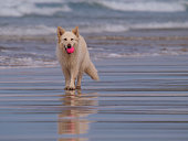 White German Shepherd dog at he beach Gwithian Cornwall UK