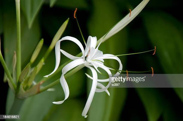 White Ginger Flower