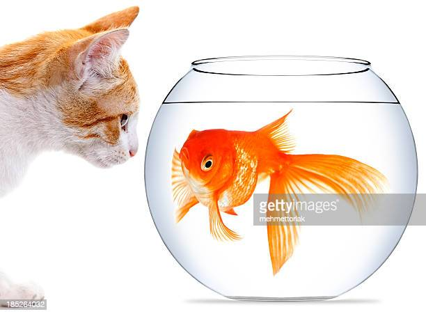White & ginger kitten looking at a goldfish in a bowl