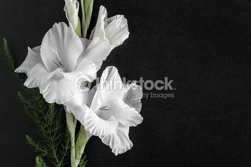 White gladiolus flower on the dark background condolence card empty white gladiolus flower on the dark background condolence card empty place for a text mightylinksfo